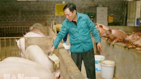 Chăn nuôi lợn bằng thảo dược ở Trác Văn (Duy Tiên)