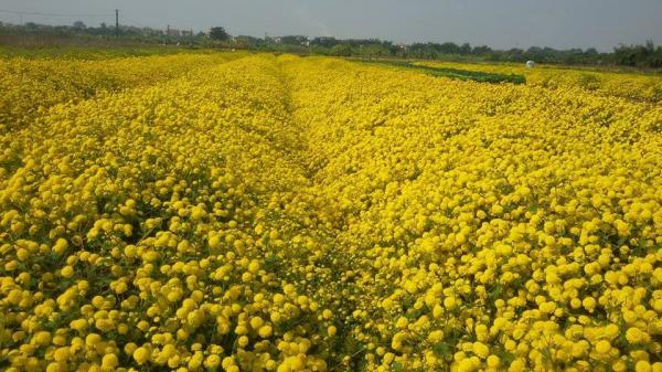Ngắm cúc chi vàng rực trong nắng, đẹp ngỡ ngàng như phim ở ngay gần Hà Nội