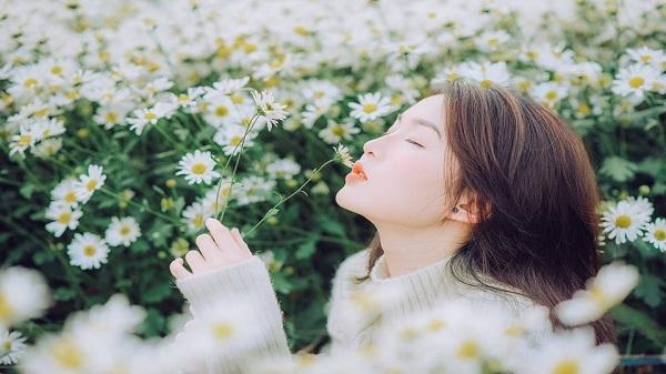Đánh thức cả mùa đông Hà Nội bằng những bông cúc họa mi trắng ngần, thanh khiết!