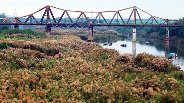 Đông Hà Nội không chỉ có cúc họa mi mỏng manh mà còn một mùa cỏ lau mơ màng ven sông Hồng