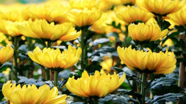 10 loài hoa mang đến sự giàu sang – phú quý – tài lộc nhất định phải trưng trong ngày Tết