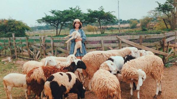 Đồng cừu đẹp xuất sắc ở Hà Nội - điểm vui chơi không thể bỏ qua của hội 'sống ảo'