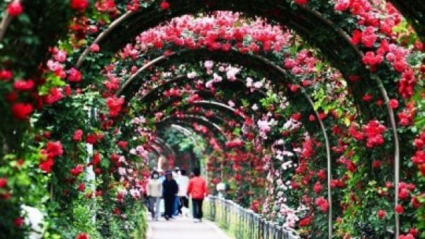 """Tưng bừng với sự kiện """"Ngày hội Hoa hồng Bulgaria và bạn bè"""" sắp diễn ra tại Hà Nội."""