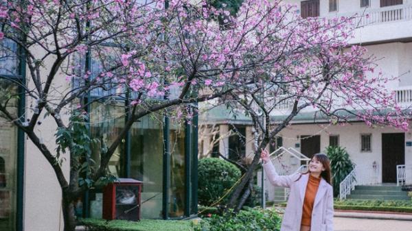 Hà Nội ngày Tết có một góc đẹp y như Nhật Bản, với những gốc hoa anh đào nở bung