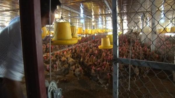 Nông dân Hà Nội thu bạc triệu mỗi năm nhờ ứng dụng công nghệ sinh học vào mô hình nuôi gà đẻ trứng