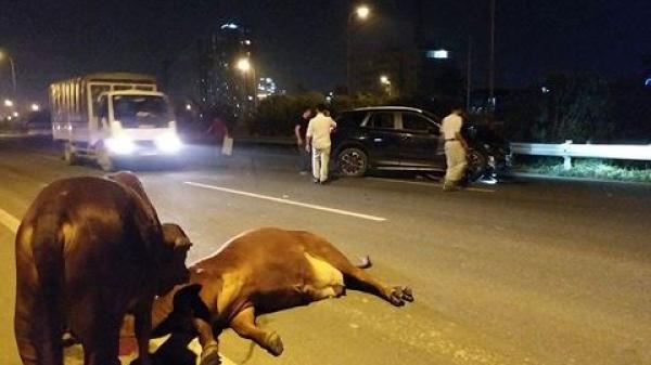 """Hà Nội: Hoang mang vì bò """"lạc"""" vào Đại lộ Thăng Long gây tai nạn"""