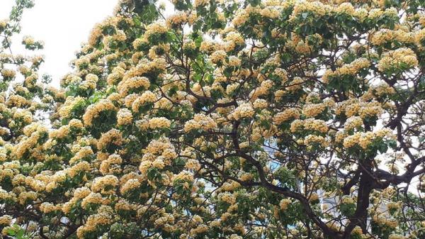 Chiêm ngưỡng vẻ đẹp kỳ lạ cây hoa bún hơn 300 tuổi có 2 màu vàng, trắng ở Hà Nội