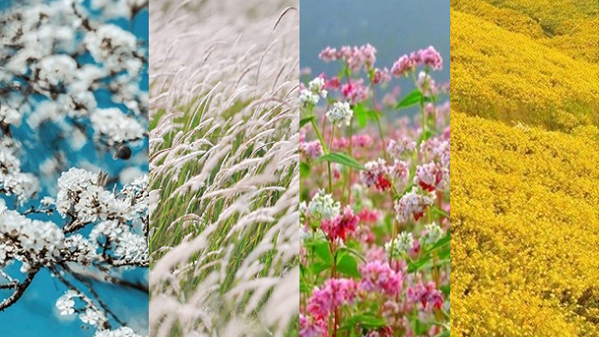 Mê mẩn và tự hào trước những cánh đồng hoa đẹp như tiên cảnh ở Việt Nam