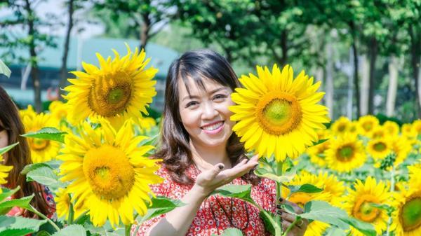 Quên cúc họa mi đi, cánh đồng hoa hướng dương đẹp rực rỡ giữa lòng Hà Nội mới là điểm bạn cần 'check-in'