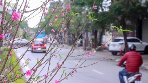Hoa đào nở rực rỡ trên dải phân cách đường Hà Nội