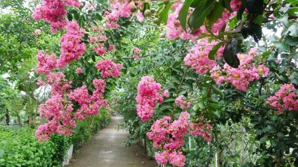 Check-in con đường rực rỡ sắc hồng hoa tường vi ngay giữa lòng Hà Nội khiến giới trẻ mê mẩn