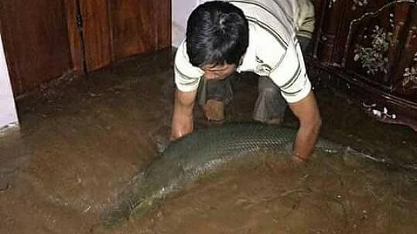 Nước ngập đến cửa sổ, cá sấu hỏa tiễn nặng gần 30kg bơi vào trong nhà dân