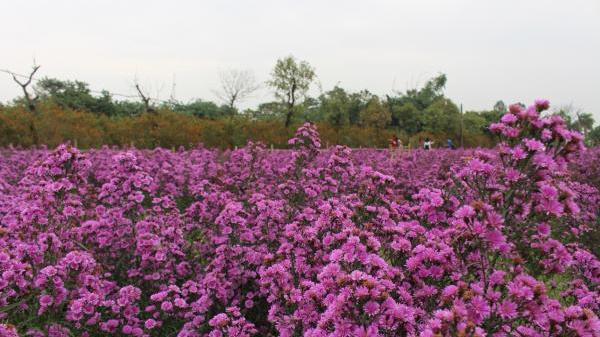 Những ngày nắng đẹp này, đến ngay với thảo nguyên thạch thảo tím 'rợp trời' đầy mê hoặc ở Hà Nội