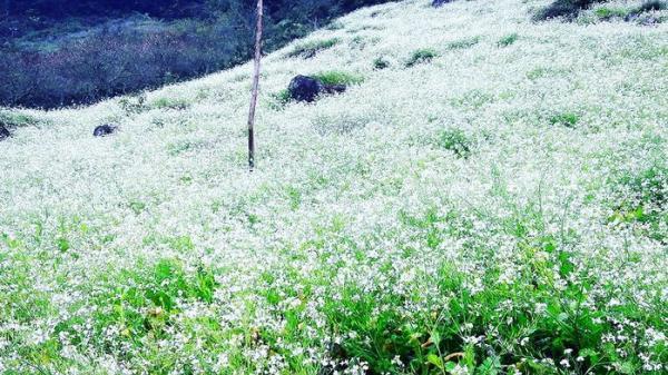 Đến ngay những điểm này để ngắm hoa cải trắng vào mùa đẹp nhất