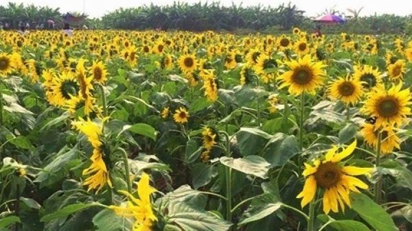 Chẳng phải đi đâu, cách Hưng Yên không xa có điểm check-in cánh đồng hoa hướng dương đẹp quên lối về