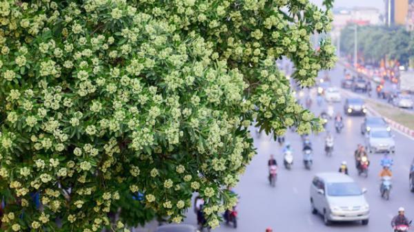 Thay vì căm thù hoa sữa, hãy trân trọng nó vì những ngày này, hương hoa ấy đang là mùi dễ chịu nhất ở Hà Nội