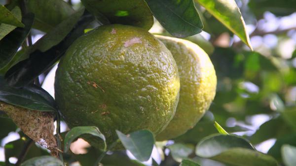 Cam bù Hương Sơn - Món quà ngon ngọt đến từ mảnh đất Hà Tĩnh