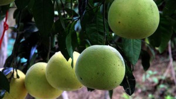 Hà Tĩnh: Vườn bưởi 8.000 quả hiếm có của lão nông Phúc Trạch