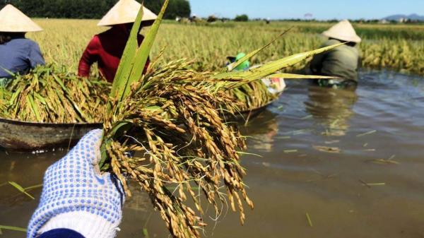 Nông dân Hà Tĩnh ngậm ngùi gặt lúa nảy mầm sau lũ