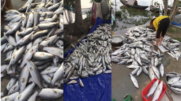 Lộ nguyên nhân cá bất ngờ chết hàng loạt tại Hà Tĩnh