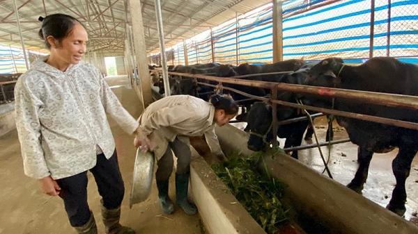 Hòa Bình: Thu nhập tiền tỷ từ trại bò trăm con ở thôn Voi