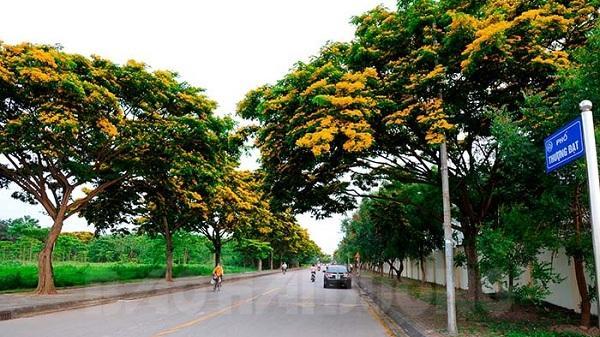 Hoa giáng hương nở vàng rực trong khu công nghiệp Đại An