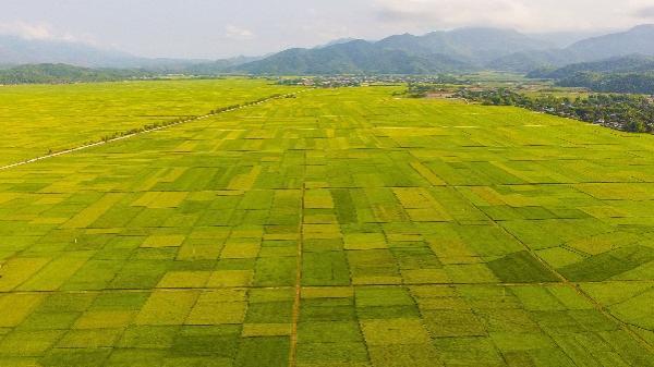 """Những """"cánh đồng vàng"""" Điện Biên"""