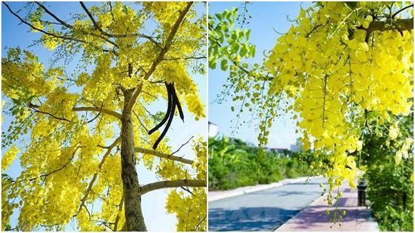 Mê mẩn muồng hoàng yến rực vàng bên bờ sông Nậm Rốm lịch sử ở Điện Biên