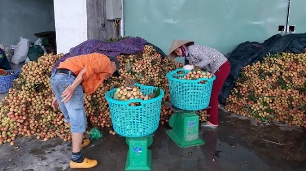 Hải Dương: Vải đầu mùa được giá, thương lái vét sạch cả vườn