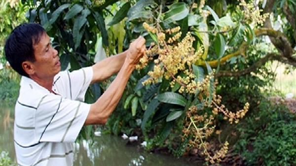 Nhà vườn miền Tây lo lắng thời tiết ảnh hưởng cây trái phục vụ Tết