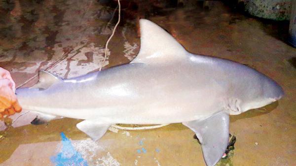 An Giang: Kỳ bí chuyện săn cá mập ở Vàm Nao