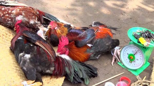 Hậu Giang: Triệt phá tụ điểm đá gà ăn tiền