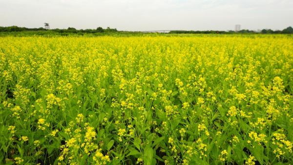 Không xa Hòa Bình có một cánh đồng hoa cải nở rộ đẹp quên lối về