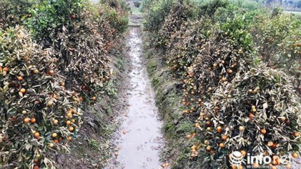 Tìm ra thủ phạm phun thuốc phá hoại hơn 400 cây quất ở Thanh Hóa