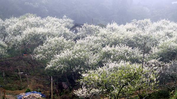 """Quên Mộc Châu đi, ở ngay Hòa Bình cũng có một """"thiên đường"""" hoa mận trắng đẹp đến ngỡ ngàng"""
