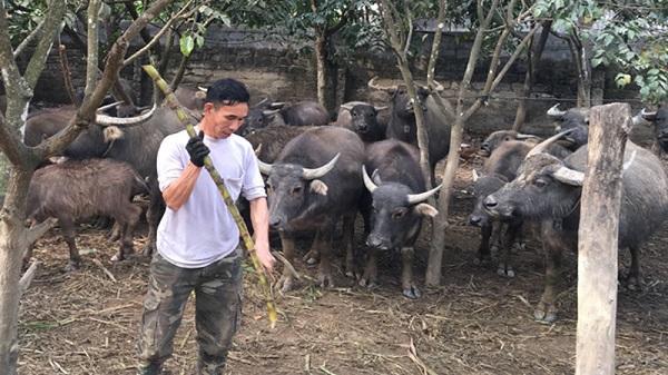 Sở hữu đàn trâu khủng, người đàn ông ở Kỳ Sơn (Hòa Bình) xứng danh là người có nhiều trâu nhất huyện