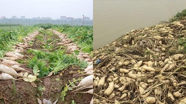 500 đồng/1kg củ cải vẫn không ai mua, người dân đau xót đổ hàng chục tấn xuống sông