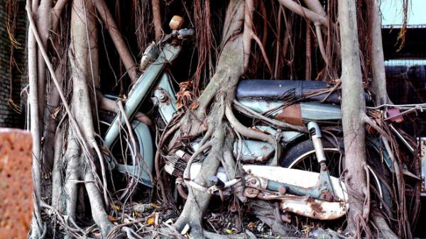 Chuyện lạ: Cây cổ thụ ôm chặt cứng chiếc xe máy suốt 25