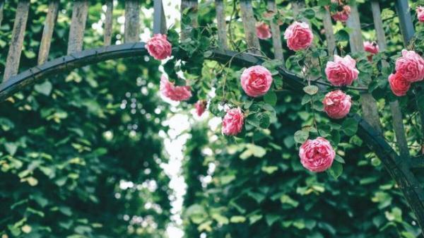 HOT: Không xa Hòa Bình có một Công viên hoa hồng lớn nhất Việt Nam, sẽ mở cửa vào 2/9