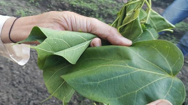 Cháo ấu tẩu và lá ngón xào tỏi - 2 đặc sản có độc của vùng cao và chuyện thú vị đằng sau