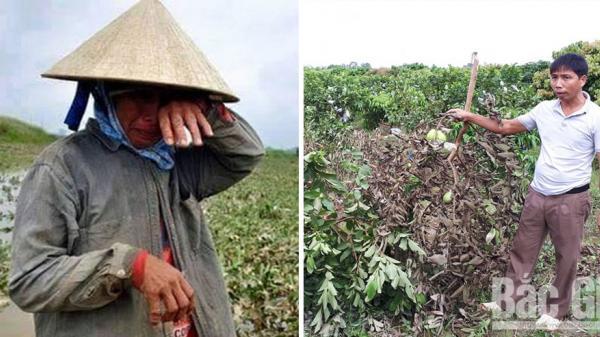 Bắc Giang: Nhiều hộ dân bị phá hoại cây ăn quả trước ngày thu hoạch