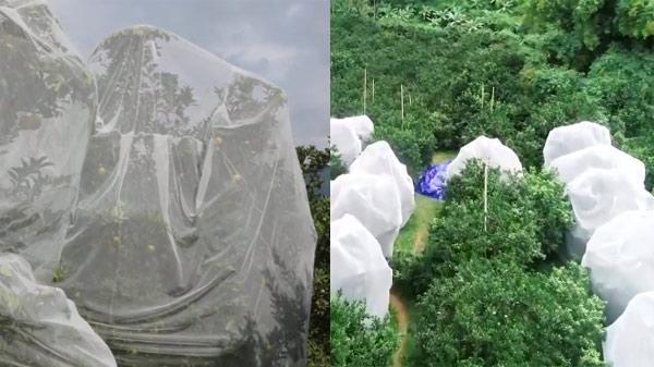 KỲ LẠ: Đồi cam Cao Phong (Hòa Bình) được mắc màn trắng toát từ gốc đến ngọn