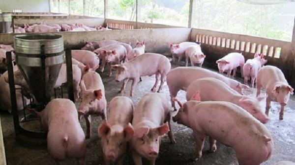 THÔNG BÁO: Tứ Kỳ, Hải Dương công bố hết d.ịch tả lợn