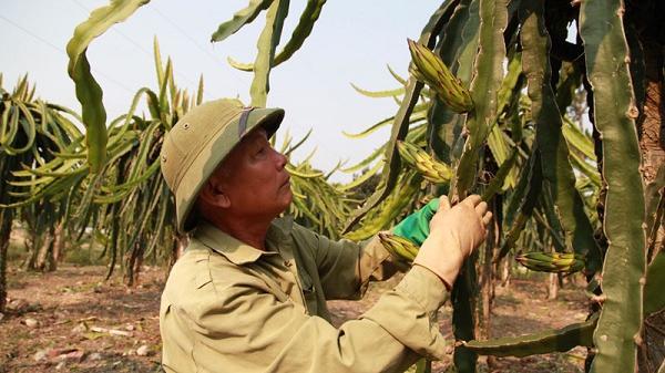 Chuyện về người thương binh Điện Biên trồng thanh long ở vùng đất lịch sử