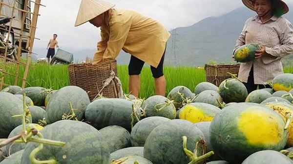 Chăm sóc 3 tháng ròng, người dân Hòa Bình phấn khởi vì dưa hấu năm nay được mùa