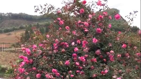 Cây hoa hồng khổng lồ trên đỉnh núi ở Điện Biên: Nở ngàn bông, 150 triệu nhất quyết không bán