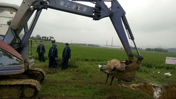 Hòa Bình: Lại xuất hiện thêm 1 ổ d.ịch tả lợn châu Phi