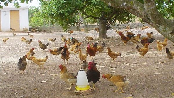 Hòa Bình tổng kết mô hình nuôi gà thả vườn