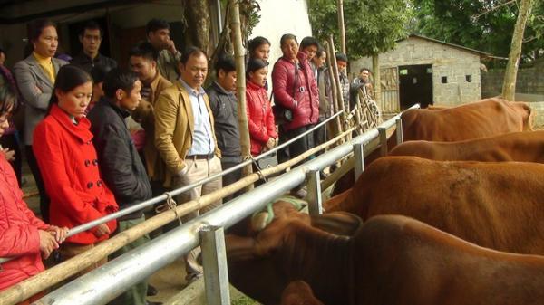Hòa Bình trồng cỏ nuôi bò vỗ béo