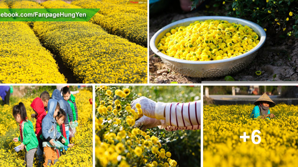 Phút xao lòng ngắm đồng hoa cúc chi vàng ruộm trong ánh nắng lung linh ở Hưng Yên